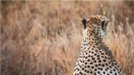 《我们的非洲朋友 坦桑尼亚篇》草原上的猎豹保护者