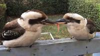 实拍两只笑翠鸟夺食大战