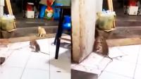 俩老鼠掐架看傻猫咪