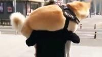女孩养秋田犬需谨慎