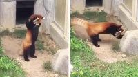 被石头吓到投降的小熊猫