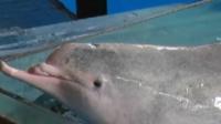 中华白海豚仅剩下颌仍在表演 虐待动物?园方表示只是训