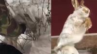 """零下56度极寒 兔子翻越栅栏时被冻成""""雕塑"""""""