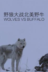 野狼大战北美野牛
