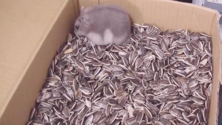 把仓鼠丢进一箱葵花籽中, 仓鼠吃得颊囊都鼓起来, 可不能多吃哦