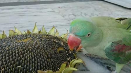 老外给鹦鹉吃葵花籽,下一秒一定憋住别笑,镜头拍下全过程