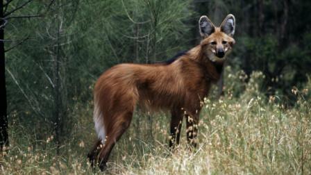 犬科动物里的另类,这种狼酷爱吃素,被吓到时会炸毛