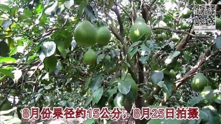 连飘香的柚花都具有中医认证的润肺平喘、健胃、补血、清肠、利便等保健功效、更何况整个柚子