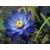 春天里的蓝莲花儿