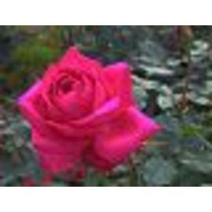 玫瑰雨露A