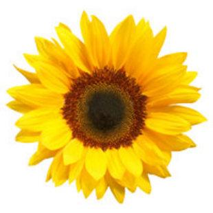 Sunflower工作室