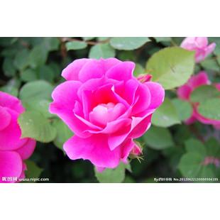 蔷薇花86