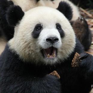 ipanda熊貓熊