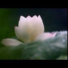 静和蝴蝶兰