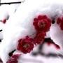 瑞雪一枝梅