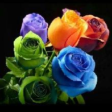 静静的黑玫瑰