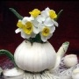 快乐的水仙花儿