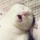 超爱睡觉的折耳猫