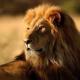 fn优雅狮子