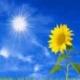 阳光下的向日葵8