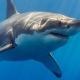 一只大白鲨Jaws
