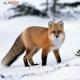火狐狸殿下