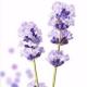 蓝紫色的薰衣草