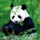 我喜欢熊猫