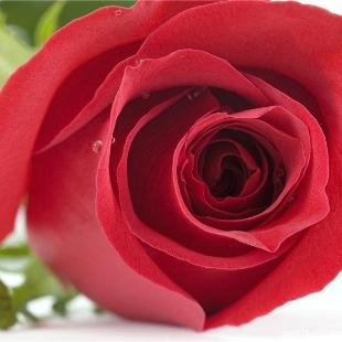 浅秋的玫瑰