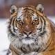 远东北亚巨虎
