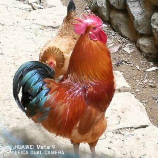都市斗鸡爱好者