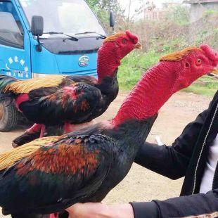 阿光越南鬼子斗鸡
