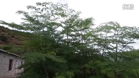 云南满泽辣木茶视频,原生态辣木茶图片,辣木叶茶,辣木茶叶,辣木茶的功效与作用
