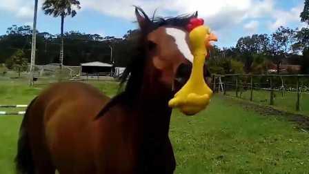 当一匹马遇上惨叫鸡场面一度控制不住【宇宙大新闻】52