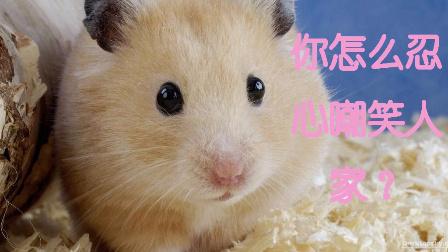 小仓鼠想吃上面的蛋糕就是够不着!让人心疼又憋不住笑!