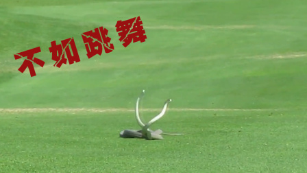 高尔夫球场两条蛇互相缠绕 竟分不清究竟是打架还是跳舞