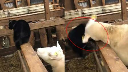 黑猫想吃羊肉 结果被羊给撞飞了