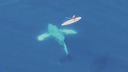 座头鲸翻身险打翻航行小船 户外运动惊险一念之间