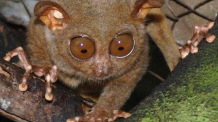 地球第二小的灵长类动物 菲律宾眼镜猴眼睛比脑子大