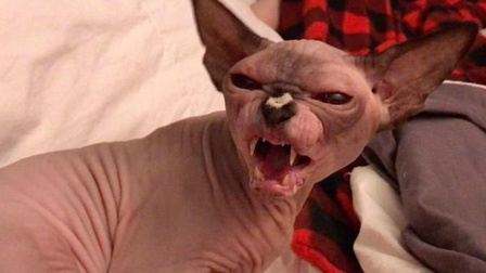 温和的无毛猫生起气来竟然这么凶 你怕了吗