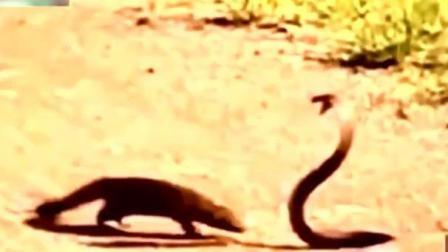 动物世界 非洲平头哥又在收拾头条蛇了 速度围观
