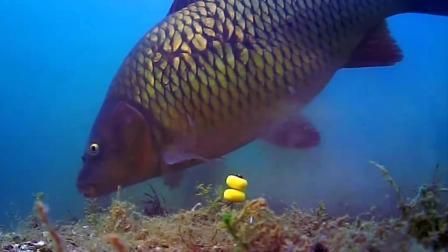 水底实拍鲤鱼吃钩全过程
