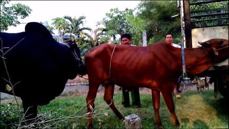 到了季节, 公牛寻找伴侣, 母牛被主人绑起来了太瘦了