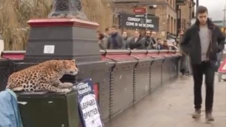 【趣那个味】第222期 花豹现身街头路人被吓坏  搞笑视频 欧美混剪恶搞 有声音的