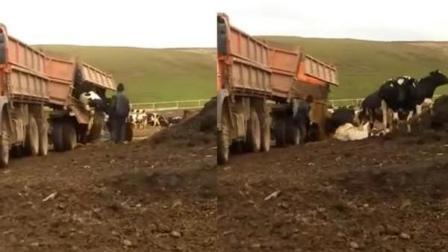 荒唐司机竟将乳牛像倒垃圾般丢到地上被开除