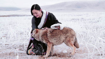 她养大一匹狼,送它重返狼群,4年后他们重逢了……
