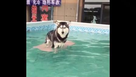 铲屎官: 当你溺水的时候别指望任何人, 特别是哈士奇! 吉他教学