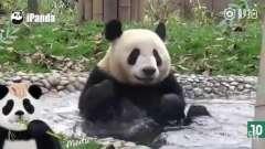 爆笑视频;国宝熊猫各种搞笑动作, 笑疼肚子了