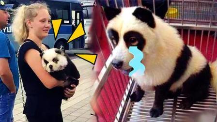 外国街头惊现山寨熊猫! 汪星人神伪装变熊猫和斑马!