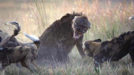 非洲野狗与鬣狗掏技大比拼, 800公斤水牛经不起鬣狗一掏